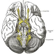 Brain Lobe 2